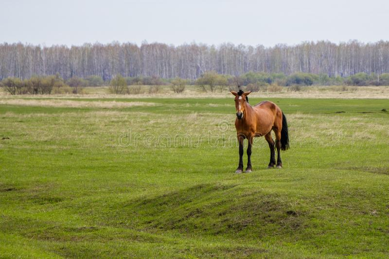Pregnant horse in the pasture looking at the camera. stock images