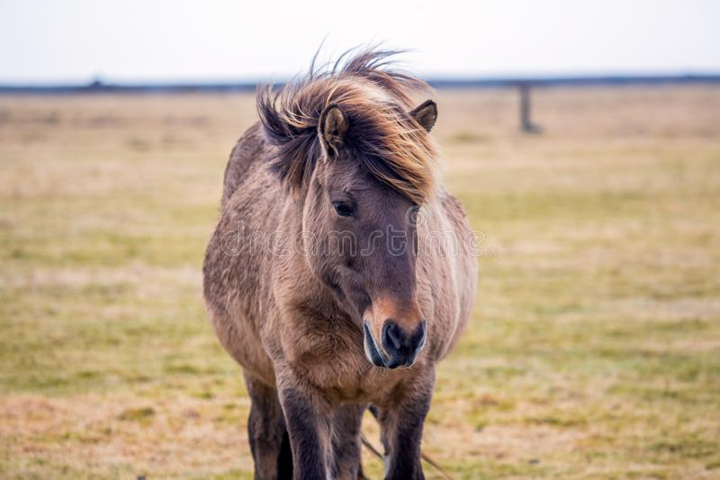 Pregnant Icelandic horse while eating on meadow stock image