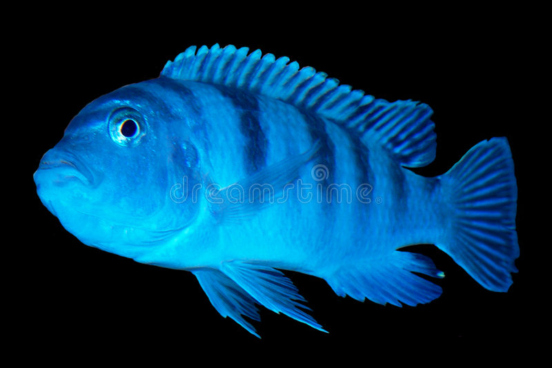 Download Pregnant Kenyi Cichlid Ad Ready Stock Image - Image of nemo, saltwater: 695589