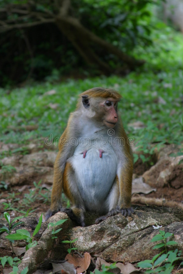 Pregnant Macaque stock photos