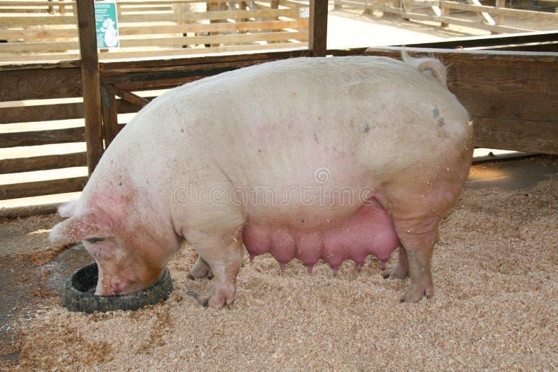 Pregnant Pig stock photos