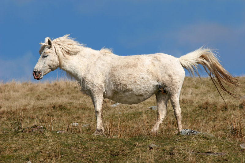 Pregnant Pony royalty free stock images