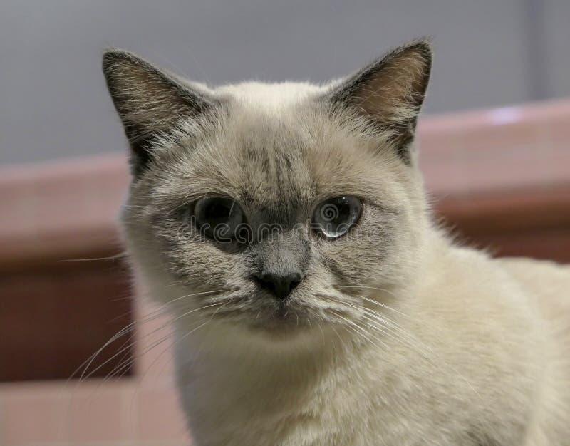 The pregnant short-legged Siamese cat stock photography
