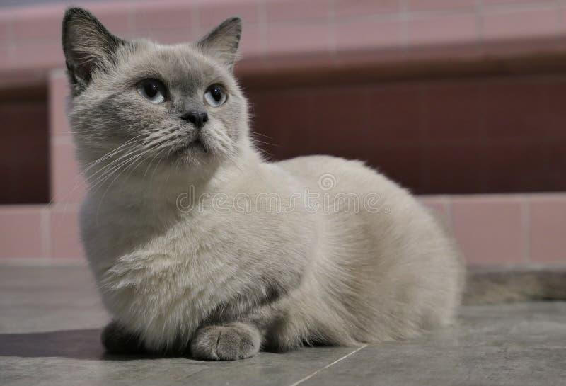 The pregnant short-legged Siamese cat stock photo