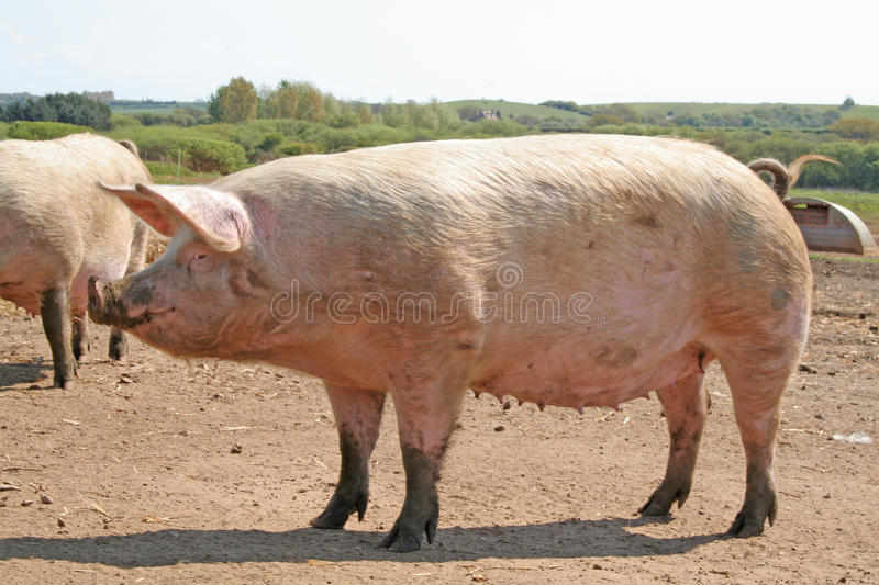 A pregnant sow. A pregnant female pig on a freerange farm stock photography