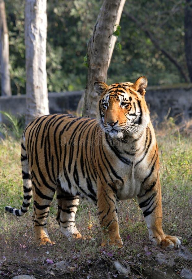 Pregnant Tigress Stock Image