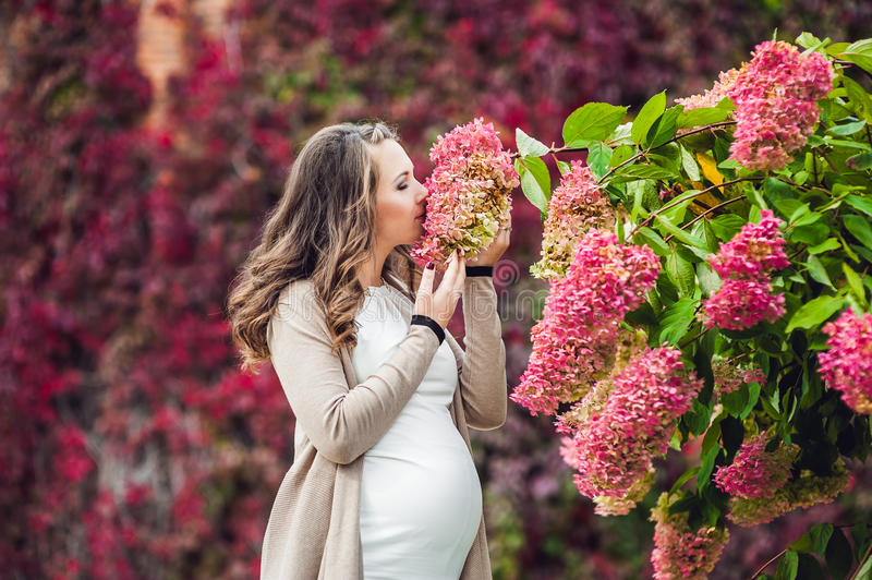 A pregnant young woman standing at the red autumn hedge, smelling a flower hydrangea. pregnant woman relaxing in the. Park. Lovely prospective mother royalty free stock image