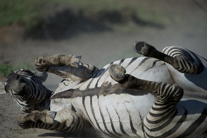 Pregnant zebra lying in the dust stock image