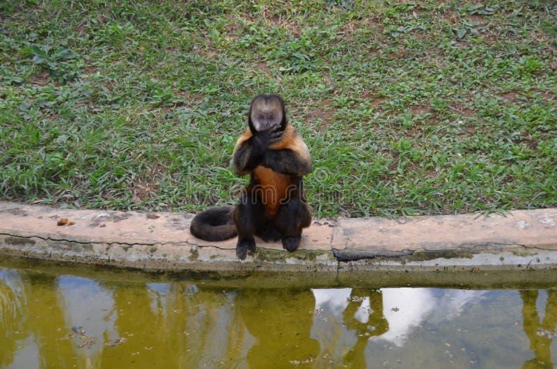 prego обезьяны стоковое фото