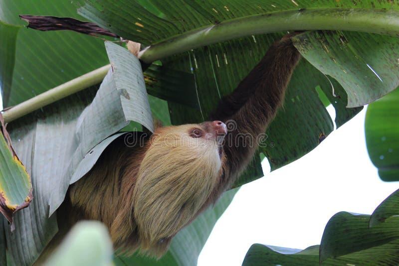 preguiça Dois-toed que pendura em uma árvore de banana - Matagalpa Nicarágua fotografia de stock royalty free