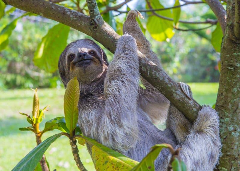 Preguiça em Costa Rica imagem de stock royalty free