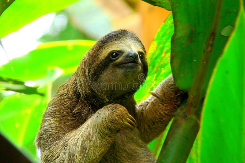 Preguiça em Costa Rica imagens de stock