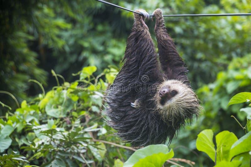 Preguiça preguiçosa em Panamá imagem de stock