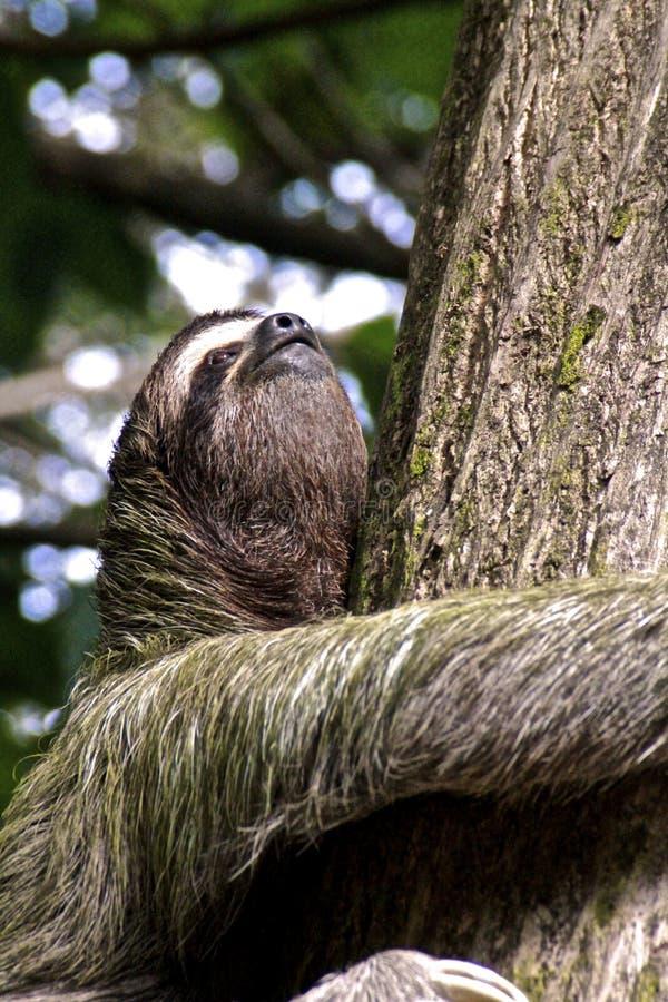 preguiça Três-toed, Close-up imagens de stock