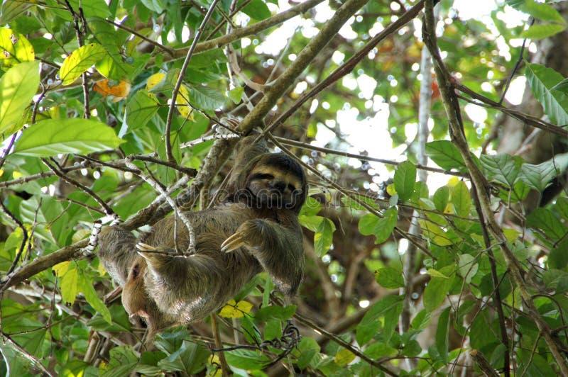 preguiça Três-toed na árvore - Costa Rica imagem de stock