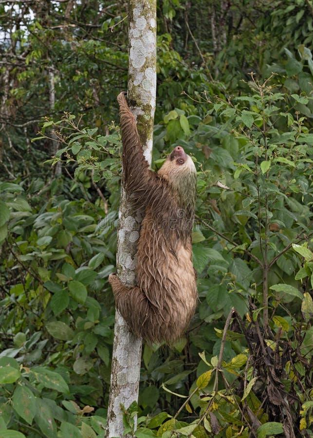 preguiça Três-toed no La Fortuna, Costa Rica imagens de stock royalty free