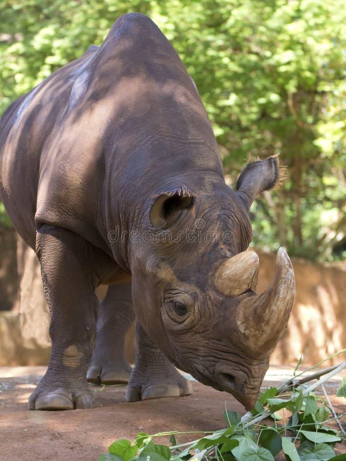 Download Prehensile Lip stock photo. Image of rhino, leffanta - 31970834