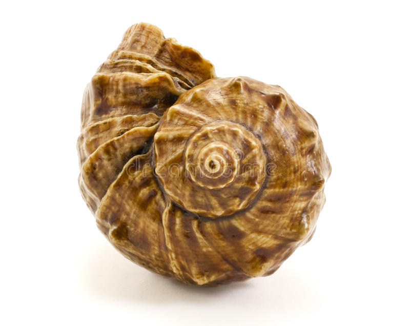 Prehistoric cockleshell. Brown spiral cockleshell isolated on a pure white background stock photos