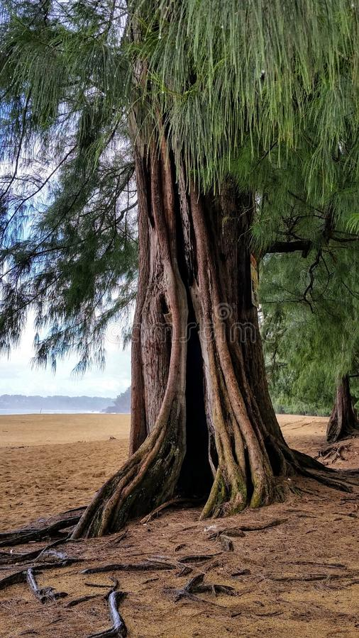 Prehistoric Looking Ironwood Tree On The Sandy Beach In Kauai, Hawaii stock photo