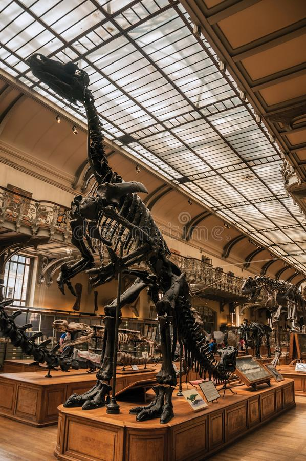 Prehistoric skeletons and fossils at Gallery of Paleontology and Comparative Anatomy in Paris. Paris, northern France - July 10, 2017. Prehistoric skeletons and royalty free stock photos
