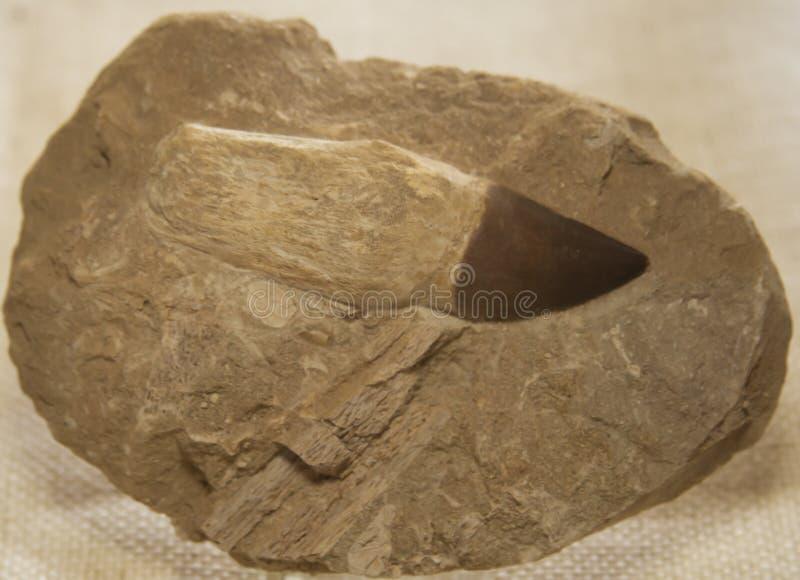 Prehistorische Shark Tooth Fossil royalty-vrije stock fotografie