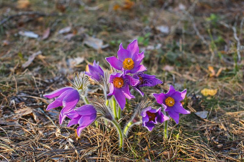 Première forêt de pasque-fleur de Bush au printemps photos stock