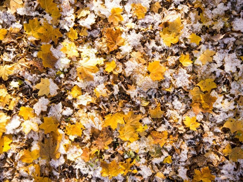 Première neige d'automne sur les feuilles tombées d'érable photos stock