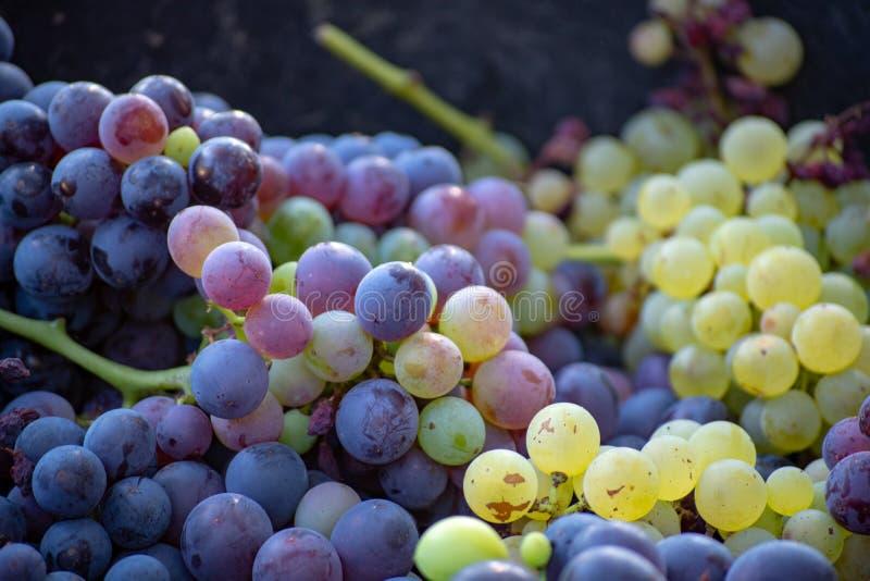 Première nouvelle récolte de raisin de cuve noir en Provence, France, prête images stock