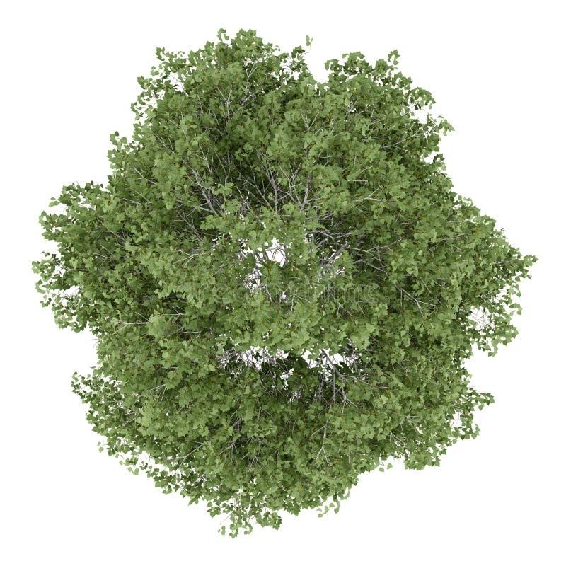 Première vue de l'arbre de bouleau argenté d'isolement sur le blanc illustration libre de droits