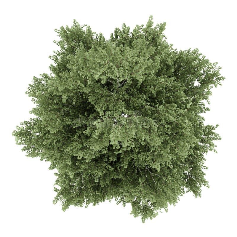Première vue de l'arbre de bouleau argenté d'isolement sur le blanc illustration de vecteur