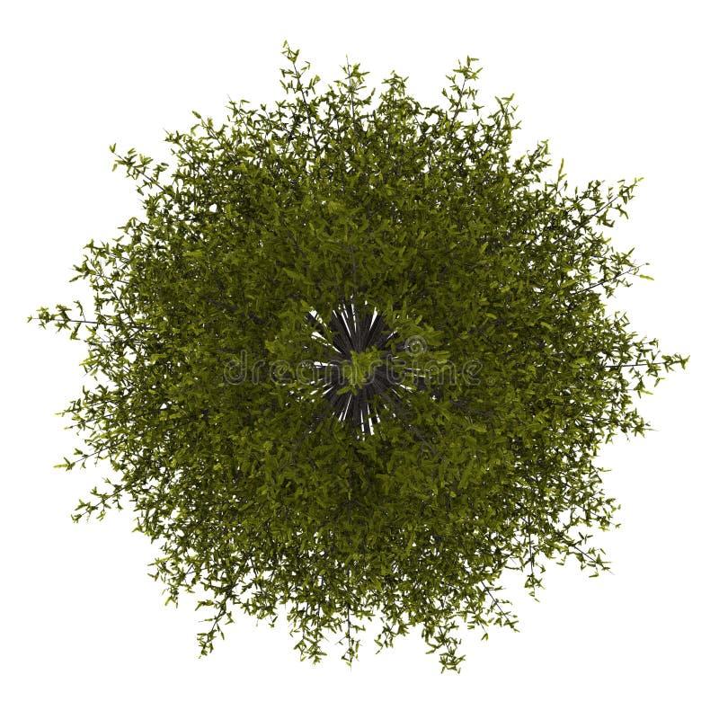 Première vue de l'arbre de mélèze européen d'isolement sur le blanc illustration de vecteur