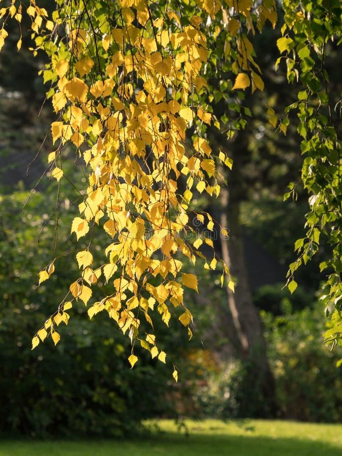 premières feuilles d'automne à un bouleau en parc photo stock