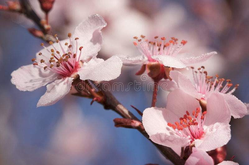 Premières Fleurs D Arbre De Source Photo stock