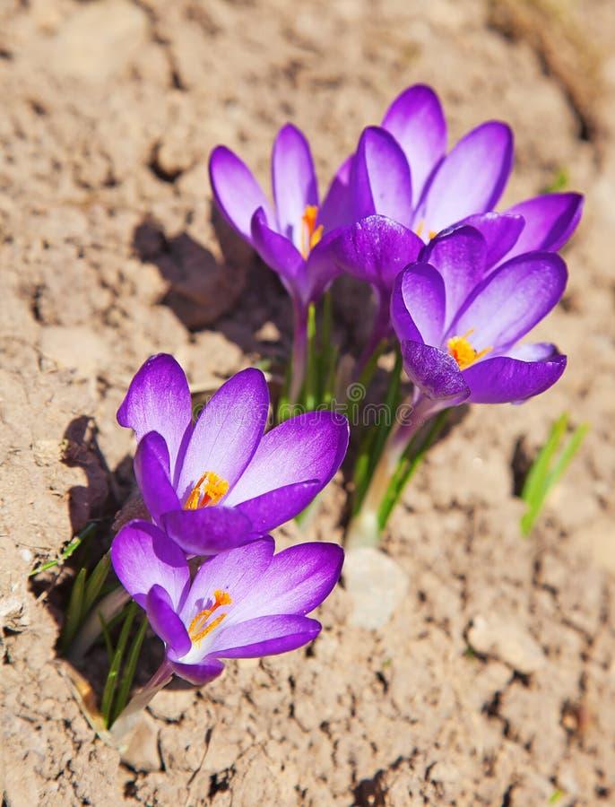 Premières fleurs de ressort photos libres de droits