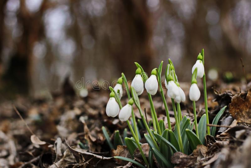 Premières fleurs de ressort de perce-neige image stock