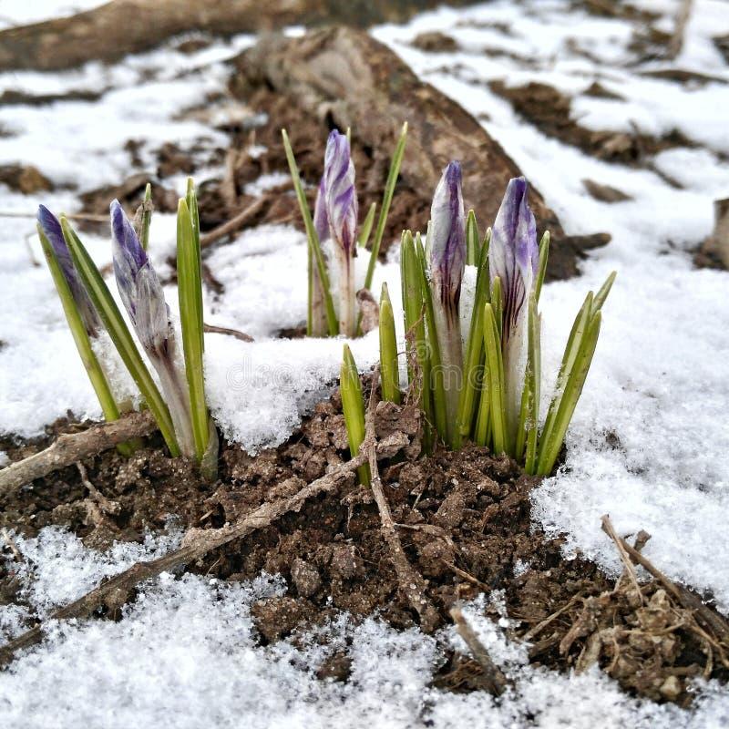 Premières fleurs de ressort sous la neige images libres de droits