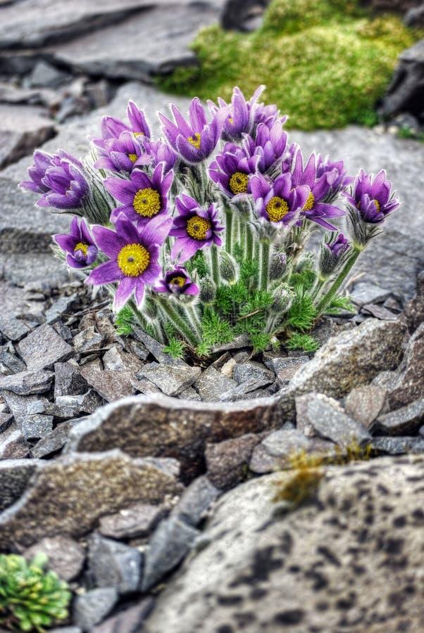 Premières fleurs de source image stock