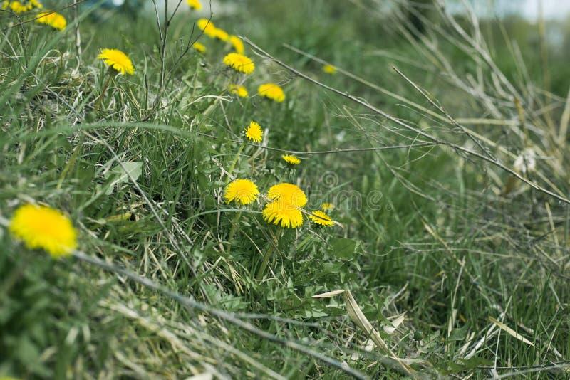 Premi?res fleurs de ressort de Leontodon jaune de pissenlits dans l'herbe verte sur la nature photo libre de droits