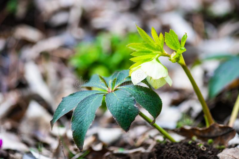 Premi?res fleurs de source images stock