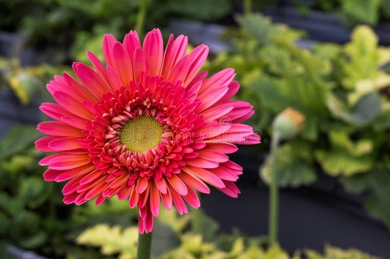 Premier chrysanthème rose photographie stock