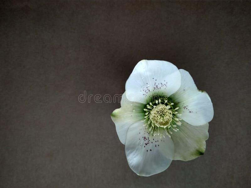 Premier hellebore de fleur de ressort sur le fond brun photographie stock libre de droits