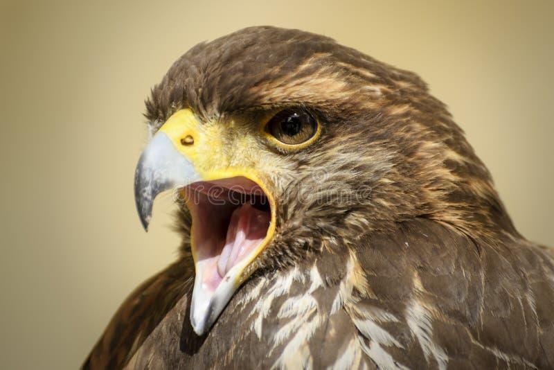 Premier plan d'un bel oiseau de proie image libre de droits