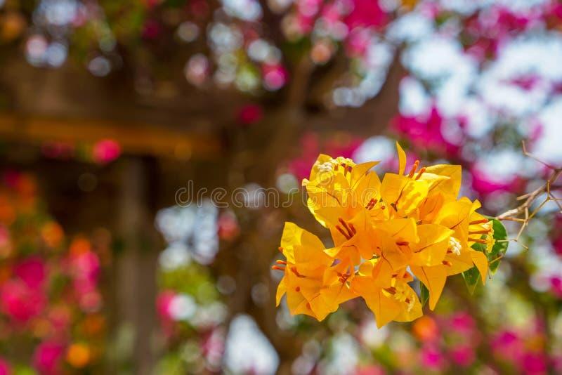 Premier plan de floraison de belle fleur jaune-orange lumineuse animée fraîche de bouganvillée avec le fond brouillé d'été de bok images libres de droits