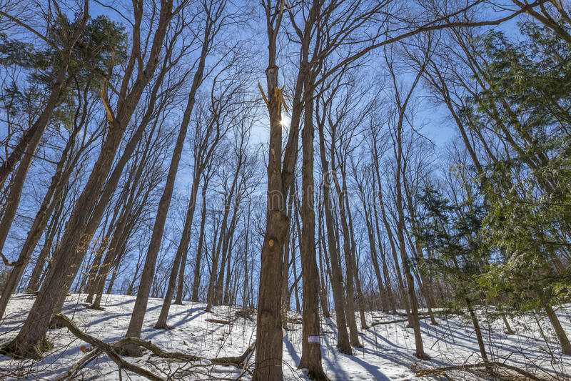 Premier ressort à la forêt d'arbres d'érable images libres de droits