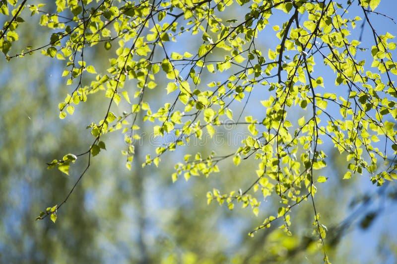 Premier ressort avec le plan rapproché des premières feuilles vertes fraîches de la lumière du soleil de branches d'arbre de boul photos libres de droits