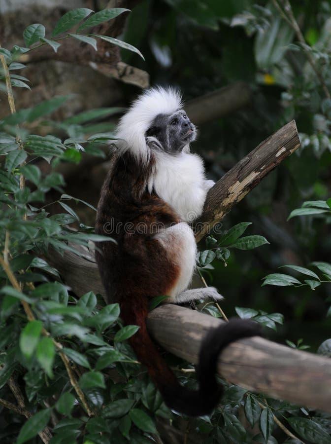 Premier singe de Tamarin de coton (Saguinus Oedipe) photographie stock