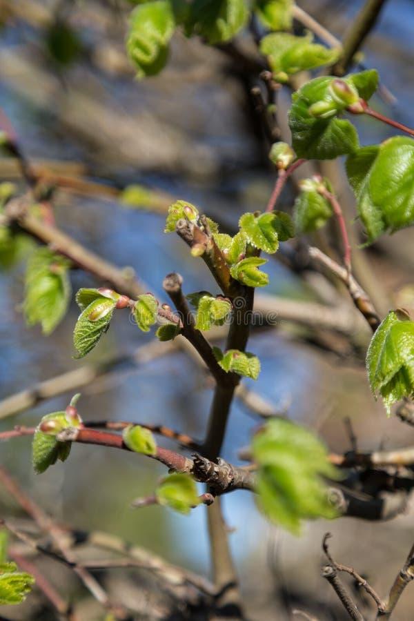 Premiers feuilles et bourgeons sur l'arbre de tilleul image stock