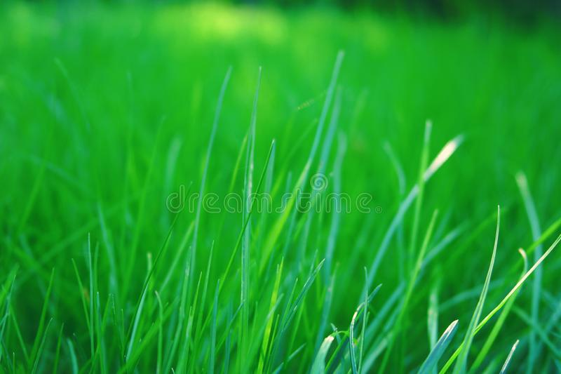 Fresh green grass of spring. The premise of spring summer nature with grass, a branch of trees with green leaves royalty free stock photo