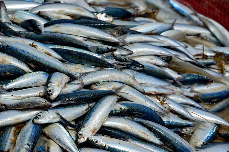 Download Prendedor De Sardinhas Frescas Imagem de Stock - Imagem de alimento, marinho: 26505505