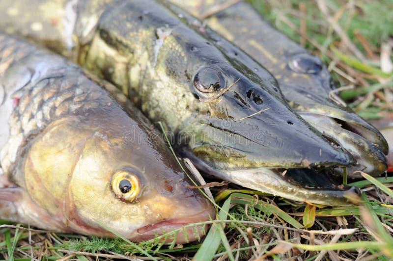 Prendedor do pescador - piques e peixes do caboz imagens de stock royalty free
